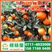 特早密桔水果供应,和县特早密橘销售电话156-7100-0405