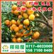 特早柑橘供应价格,新疆昌吉特早桔子代收电话156-7100-0405