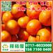 石家庄特早蜜桔销售电话156-7100-0405无极那里有早熟密桔批发市场