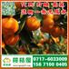 特早柑橘农产品市场,海北特早柑子代办电话156-7100-0405