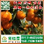 湖北咸宁早熟柑桔供应商,迟熟柑子批发电话156-7100-0405图片