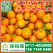 石家庄特早柑子价格行情,新乐那里有晚熟密橘批发