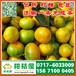 石家庄晋州特早密桔优质商品蜜桔橘子产地电话