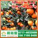 特早柑子供应电话156-7100-0405石家庄正定特早柑子市场价格