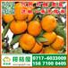 保定特早桔子批发市场,涿州那里有早熟密桔销售