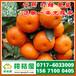 保定早熟蜜桔供货价格,定州那里有中熟柑桔销售电话156-7100-0405
