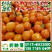 石家庄早熟密橘供应电话156-7100-0405栾城那里有特早橘子大量上市