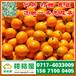 特早橘子代收电话156-7100-0405昌吉特早橘子最新价格