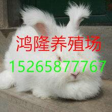 长毛兔养殖2017年长毛兔价格长毛兔兔毛新价格图片