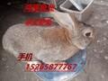 一只种兔多少钱、杂交野兔价格、兔子回收价格多少钱一斤图片