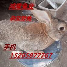 肉兔养殖场出售比利时肉兔兔种兔苗养殖技术肉兔市场行情