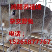 养100只肉兔需要多少钱,养肉兔杂交野兔利润和效益
