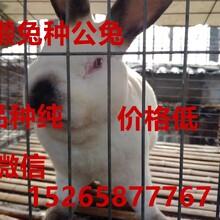 安徽獭兔价格獭兔多少钱一斤獭兔养殖场