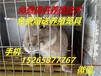 青海杂交野兔养殖前景玉树肉兔一组多少钱