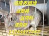 提高肉兔养殖效益,内蒙伊拉肉兔养殖技术武川野兔种兔利润