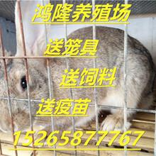 今天肉兔价格行情走势分析新西兰肉兔多少钱一斤