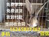 肉兔种兔多少钱一只种兔苗价格杂交野兔养殖利润