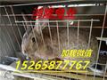 辽宁肉兔种兔低价出售盘锦杂交野兔养殖效益好品种优良图片