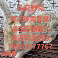 哪里有新西兰肉兔养殖场种兔多少钱一只。养兔子前景怎样