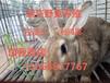 四川野兔养殖场,杂交野兔养殖技术,重庆杂交野兔苗多少钱一只