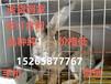 江苏种兔价格及无锡大型种兔养殖场养殖优质种兔