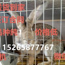 肉兔养殖场/肉兔种兔价格/肉兔种兔哪里有卖的
