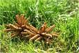 鳳崗回收冬蟲夏草價格高