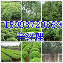 天长长期供应红叶碧桃/香花槐报价159-9372-0369