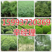 安庆长期供应核桃树苗/枇杷苗联系电话159-9372-0369