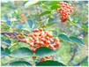 吕家庄园农家正品大红袍花椒古人用花椒来做定情之物