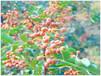 韩城农家大红袍花椒吕家庄园花椒的采摘晒制