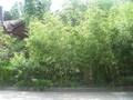 北京竹子种植基地常年经营竹子图片