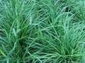 专供北京丹麦草成活率高耐寒耐旱麦冬草产地直供,送货上门图片