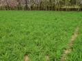 北京哪里卖丹麦草,丹麦草价格,丹麦草基地,出售图片