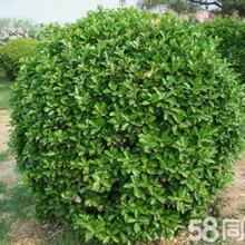 北京大叶黄杨基地,大叶黄杨卖多少钱一棵,栽大叶黄杨