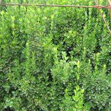 高度80厘米大叶黄杨出售,卖冬青球,金叶女贞,草坪
