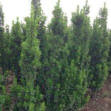 大叶黄杨出售,四季常绿绿篱苗木冬青苗,大叶黄杨批发