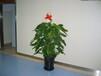 发财树出售价格,绿萝出租价格,龙血树绿植租赁价格