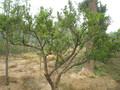 苗圃出售葡萄树,樱桃树,石榴树,山楂树果树苗木种植图片