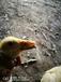 四川地区预防鸭子大舌病方法,预防鸭子大舌病特效药,鸭子瘫痪长舌病怎么治?