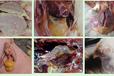 鸡大肠杆菌病特效药:养殖朋友和高级兽医之间的一段对话