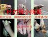 鸭子大舌病能预防吗肉鸭大舌病怎么预防和治疗?高级兽医回答