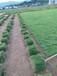 福州地被植物马尼拉草皮·绿化草坪25乘25乘10片