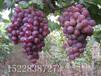 新疆葡萄苗新疆葡萄苗价格新疆葡萄苗生长环境
