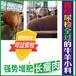 牛羊小料催肥促長劑反芻動物專用牛羊催肥增重