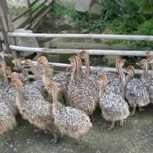一只鴕鳥養殖成本利潤圖片