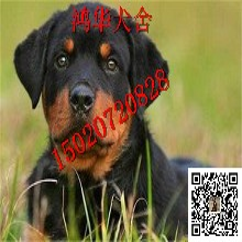 現在一只德系羅威納犬多少錢純種羅威納犬價格圖片圖片
