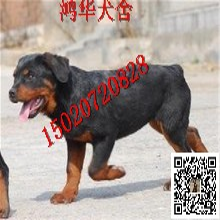 小羅威納犬多少錢一只羅威納犬價格圖片圖片