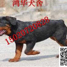 小罗威纳犬多少钱一只罗威纳犬价格图片图片