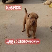 純種比特犬多少錢一只比特犬訓練比特犬斗犬視頻圖片